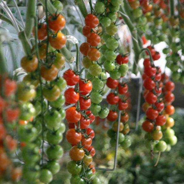 tomate-sans-residus-pesticides